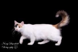 9e950007bf Breeder of the Rare Turkish Van Cat. Kittens